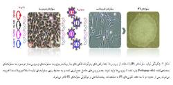 پاورپوینت سلول های بنیادی پرتوان القایی از تولید تا کاربرد